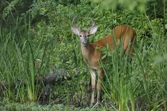 White-tailed Deer buck at the edge of a river Stock Photography