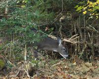 White-tailed Deer Buck. A white-tailed deer buck emerges from cover Royalty Free Stock Photos