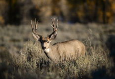White-tailed deer buck. A white-tailed deer buck during the fall rut, walks across the sagebrush flats in Grand Teton national park, Wyoming Stock Photo