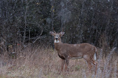 White-tailed deer buck in the falling snow Royalty Free Stock Photos