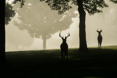 White-tailed deer buck on foggy morning Royalty Free Stock Image