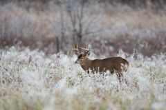White-tailed deer buck in frost covered field royalty free stock photos