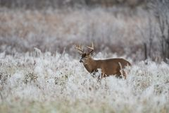 White-tailed deer buck in frost covered field stock image