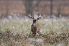 White-tailed deer buck in frost covered field stock photos
