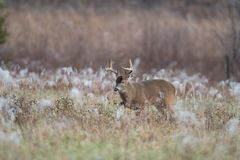 White-tailed deer buck in frost covered field royalty free stock photo