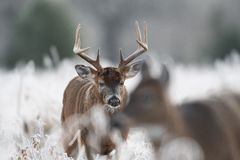 White-tailed deer buck in frost covered field. Large white-tailed deer buck watching a doe in a frost covered meadow at first light royalty free stock photos