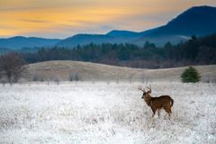 White-tailed deer buck in frosty field royalty free stock images
