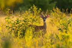 Whitetail buck in golden hour Stock Images