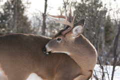 White-tailed deer buck grooming Royalty Free Stock Photos