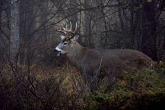 A White-tailed deer buck with huge neck walking through the foggy woods during the rut in autumn in Canada. White-tailed deer buck with huge neck walking through royalty free stock images