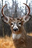 A White-tailed deer buck with huge neck walking through the woods during the rut in autumn in Canada. White-tailed deer buck with huge neck walking through the stock photos
