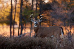 White-tailed Deer Buck In Autumn Rut, Canada Stock Photos