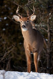 White-tailed Deer Buck In The Snow Stock Image