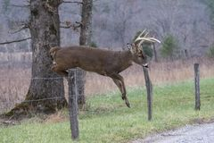Free White Tailed Deer Buck Jumps A Fence In Cades Cove. Stock Photo - 134547640
