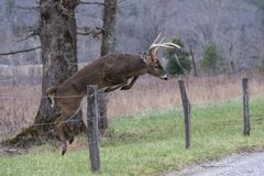 Free White Tailed Deer Buck Jumps A Fence In Cades Cove. Stock Images - 134547654