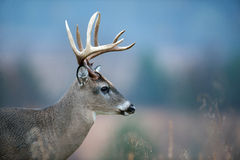 White-tailed deer buck. Large white-tailed deer buck standing in an open meadow Stock Image