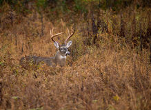 White-tailed deer buck Royalty Free Stock Images