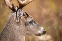 White-tailed deer buck Stock Photography