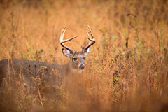 White-tailed deer buck. Large white-tailed deer buck walking through heavy brush in Smoky Mountain National Park Stock Photo