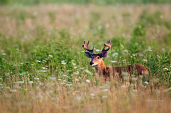White-tailed deer buck in meadow Stock Image
