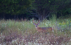White-tailed deer buck in meadow Royalty Free Stock Photography