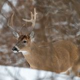 White tailed deer buck royalty free stock photography