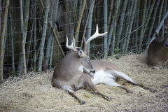 White Tailed Deer Buck. Odocoileus virginianus resting peacefully royalty free stock image