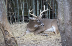 White Tailed Deer Buck. Odocoileus virginianus resting peacefully royalty free stock images