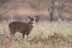 White-tailed deer buck in open meadow stock photo