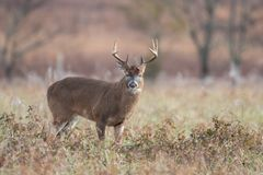 White-tailed deer buck in open meadow royalty free stock photography