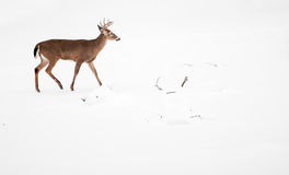 White Tailed Deer Buck Stock Image