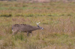 White-tailed deer buck picks up the scent Royalty Free Stock Photo