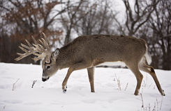 White-tailed deer buck Stock Images