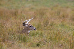White-tailed deer buck resting in the grass. In autumn royalty free stock photos