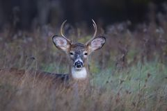 A White-tailed deer buck resting in the meadow during the autumn rut in Canada. White-tailed deer buck resting in the meadow during the autumn rut in Canada stock images
