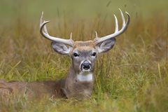 A White-tailed deer buck resting in the meadow during the autumn rut in Canada. White-tailed deer buck resting in the meadow during the autumn rut in Canada royalty free stock image