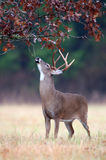 White-tailed deer buck rut behavior Stock Images