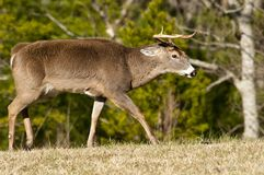 White tailed deer buck in rutting season Royalty Free Stock Photography