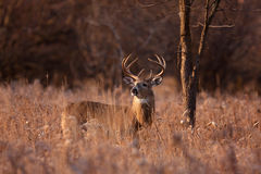 White-tailed deer buck. In a spring meadow Stock Images