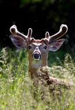 White-tailed deer buck. In spring meadow Royalty Free Stock Image