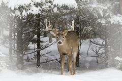 A White-tailed deer buck standing in a field in winter snow in Canada. White-tailed deer buck standing in a field in winter snow in Canada Royalty Free Stock Photography