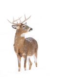 White-tailed deer buck standing in a snowy meadow Royalty Free Stock Image