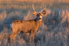 White-tailed Deer Buck At Sunrise Royalty Free Stock Photo