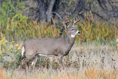 White-tailed Deer Buck In Autumn Royalty Free Stock Image