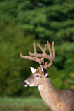 White-tailed deer buck with velvet antlers. Whitetail deer buck in spring with velvet antlers royalty free stock images