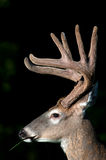 White-tailed deer buck with velvet antlers. Whitetail deer buck in spring with velvet antlers royalty free stock photo