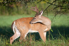 White-tailed deer buck with velvet antlers Stock Photos
