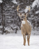 White-tailed deer buck Royalty Free Stock Image