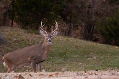 White-tailed deer buck walking through a meadow stock photography