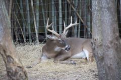 White Tailed Deer Buck. Odocoileus virginianus resting peacefully stock photography